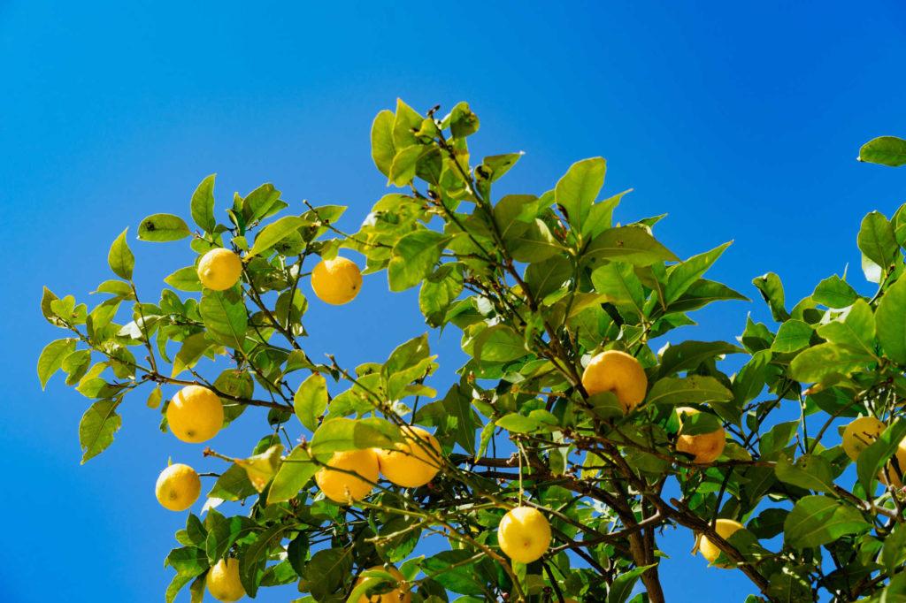 Comment perdre du ventre avec du citron
