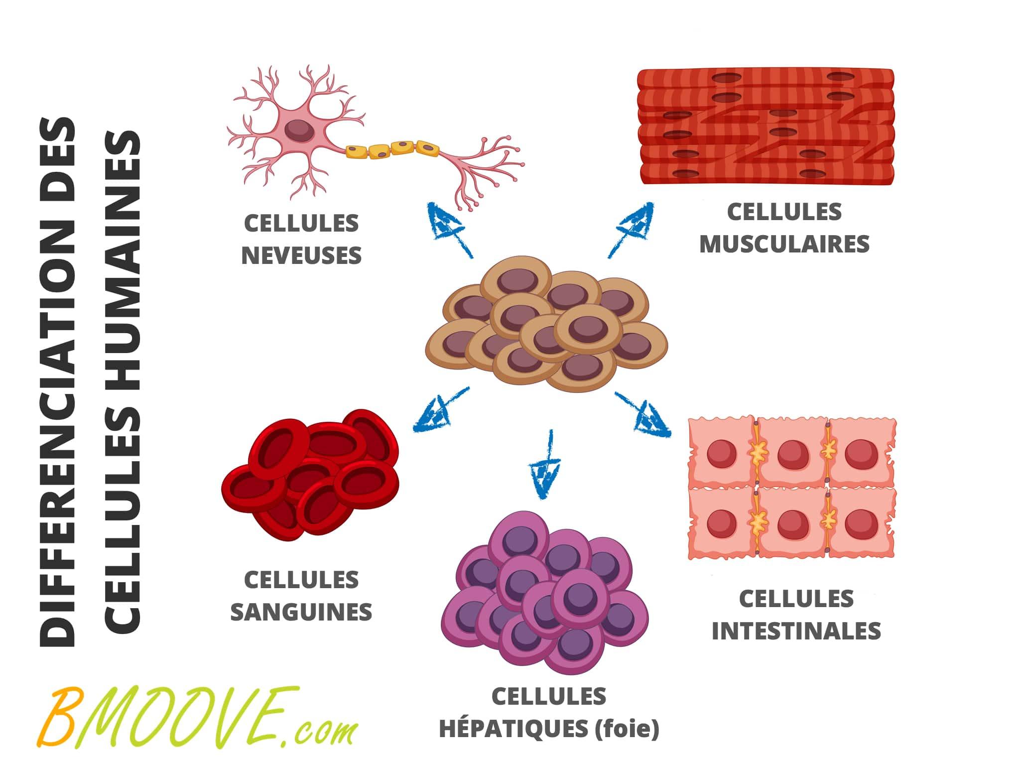 les différentes cellules du corps humain