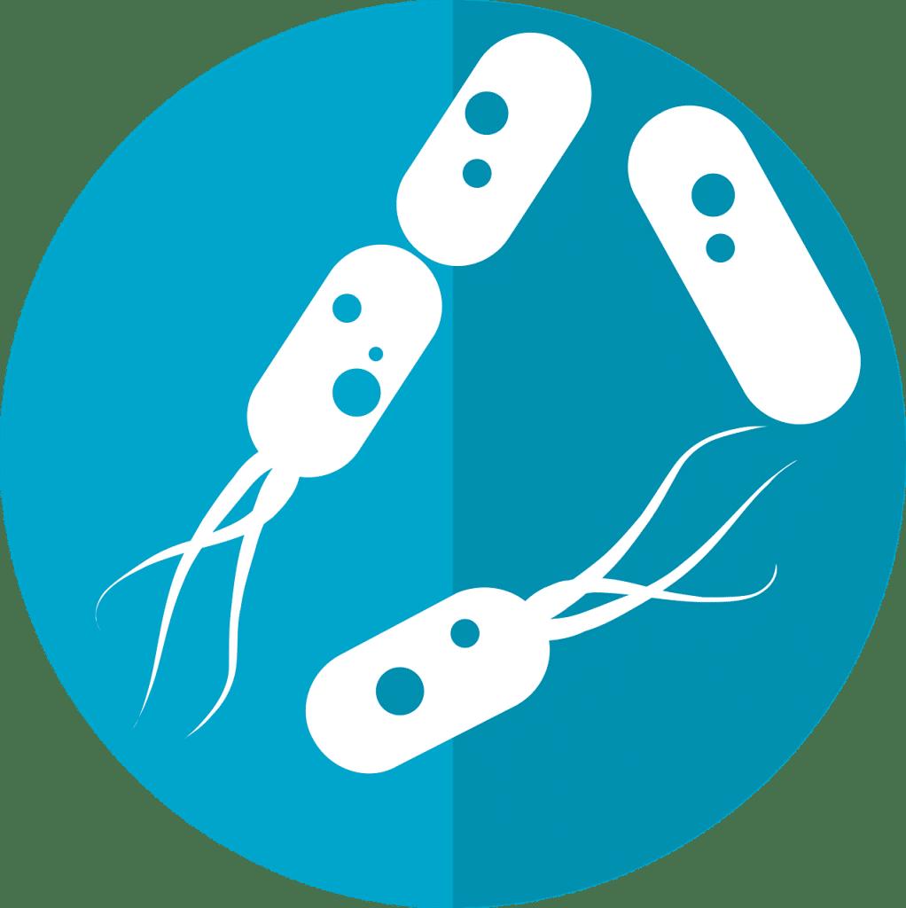 Les bactéries du microbiote intestinal