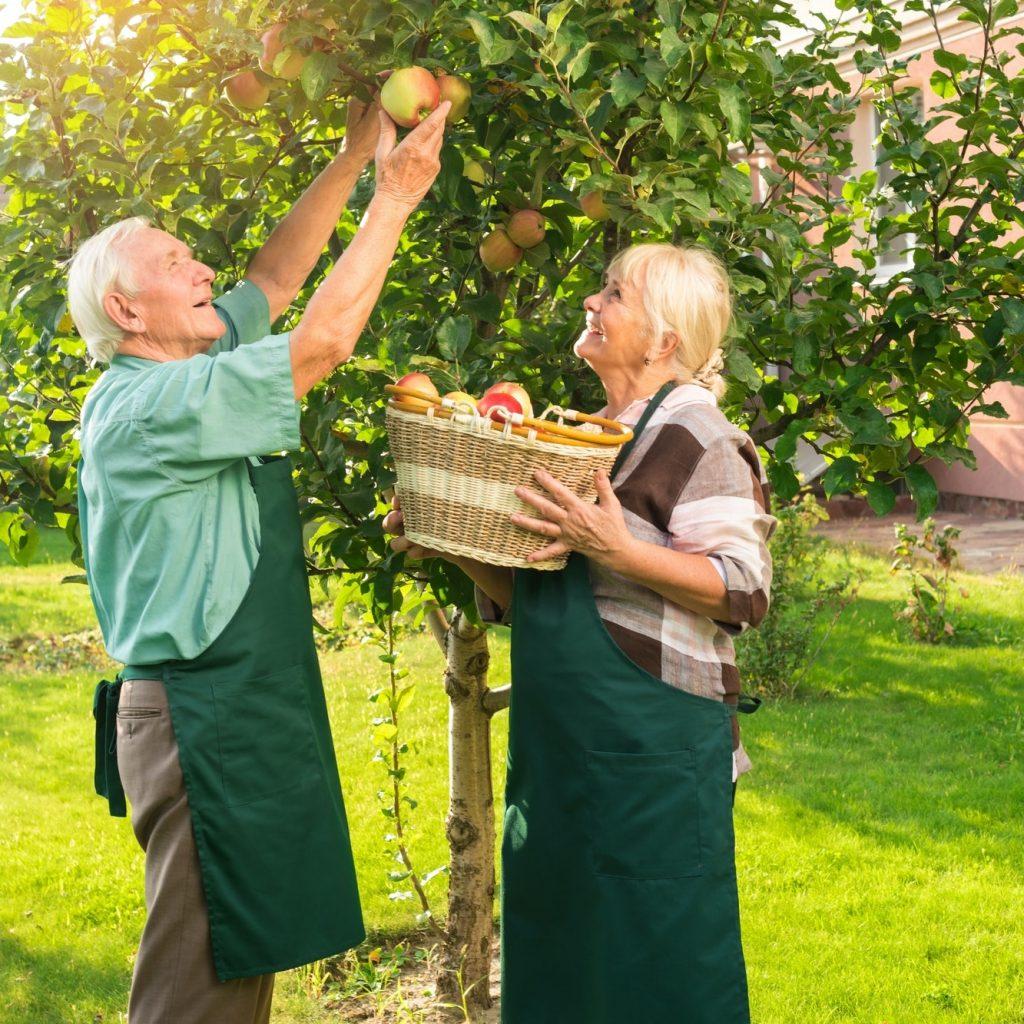couple de personnes âgées cueillent des pommes
