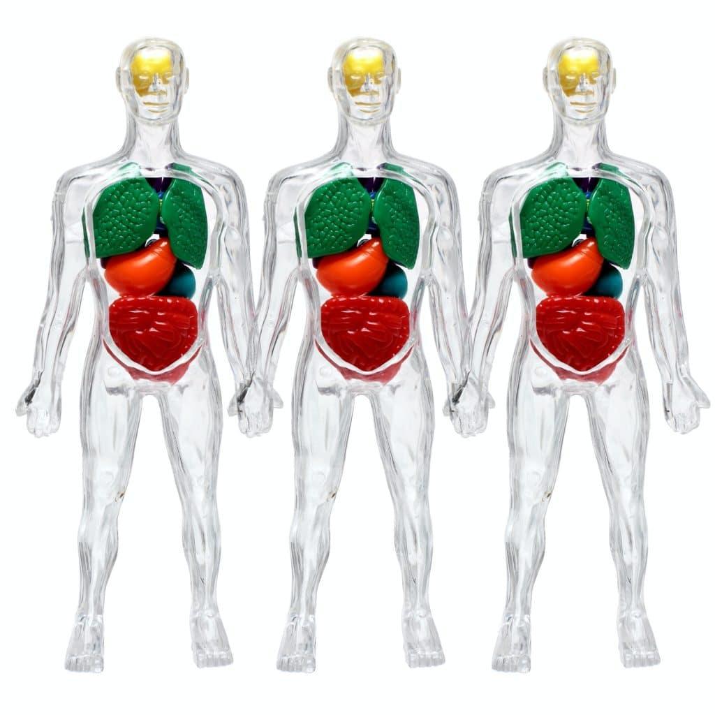 modèles transparents corps humains