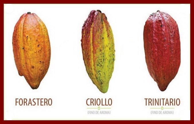 Chocolat noir : les différentes fèves de cacao